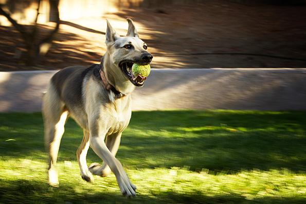 adiestrar-Un-Perro-a-Traer-la-Pelota