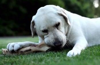 Evitar-que-Perro-muerda-objetos-o-mobiliario-con-hueso.jpg