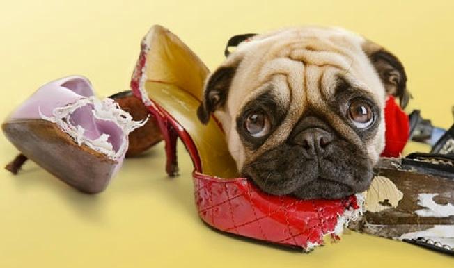 adiestrar-un-perro-a-no-mordisquear-objetos.jpg
