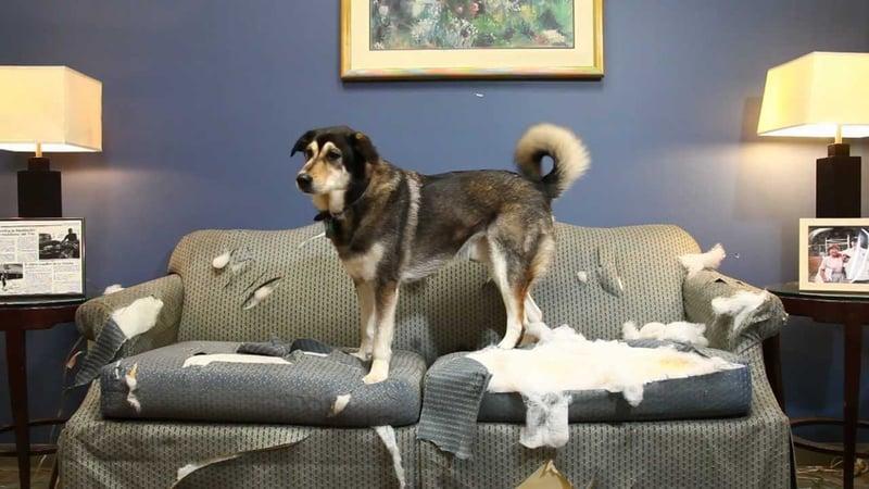 ensenar-perro-a-no-morder-muebles-cosas-mobiliario-zapatos.jpg